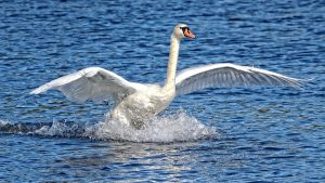 picture of swan landing